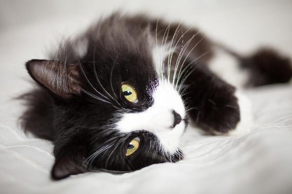 چند حقیقت جالب در رابطه با گربه تاکسیدو سیاه و سفید - دانشنامه ...