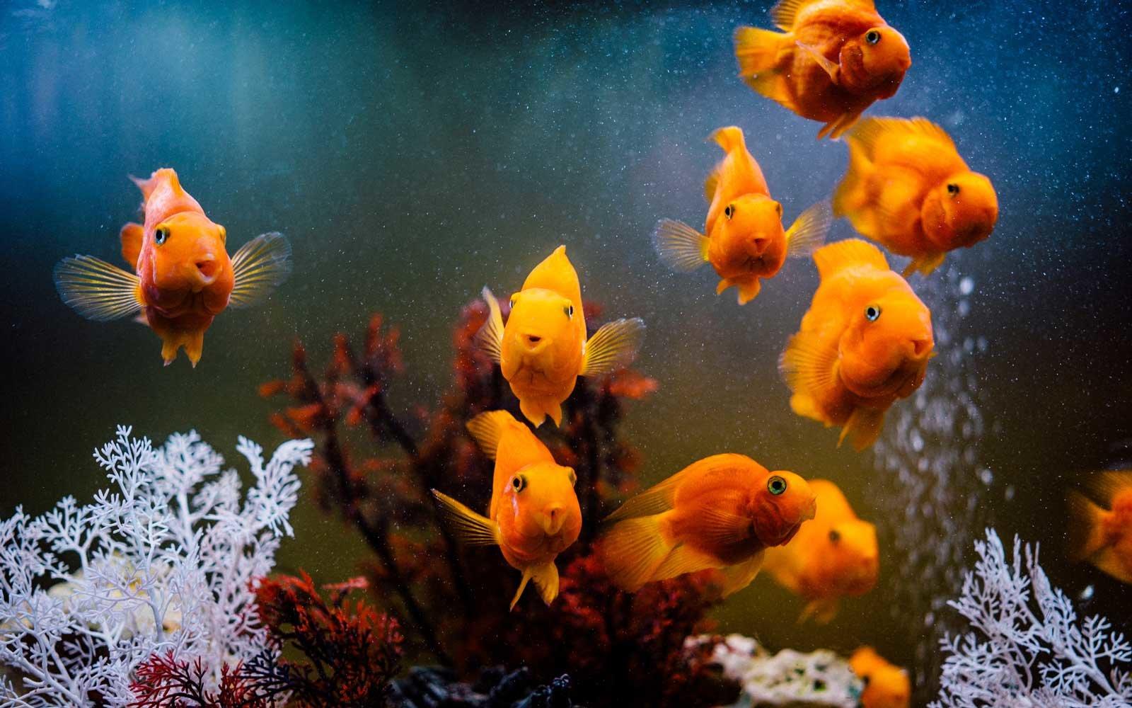 ماهی آکواریوم